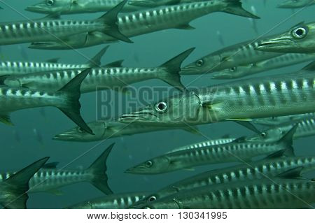 Inside A School Of Barracuda In Sipadan, Borneo, Malaysia