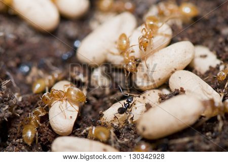 Yellow Ants Inside Anthill While Moving Eggs