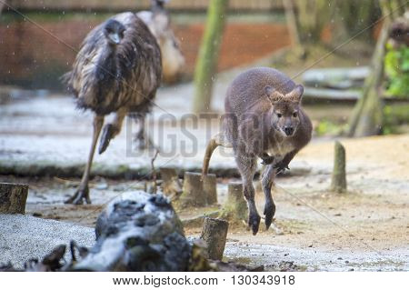 Kangaroo While Jumping And Chased By Ostrich