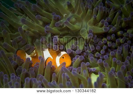 A Clown Fish Portrait