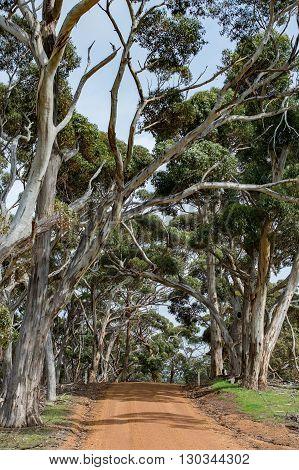 Australia Red Road In Eucalyptus Forest