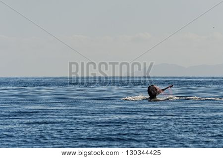 Humpback Whale Tail Trapped In Fishing Net