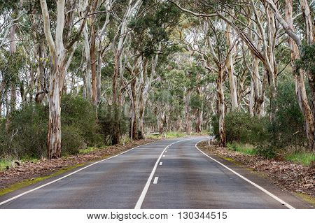 South Australia Road In Eucalyptus Forest