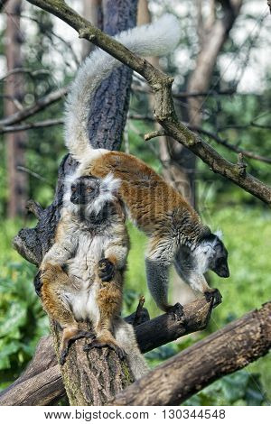 Lemur Monkey While Spreading Arms To The Sun