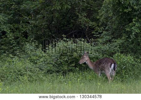 Fallow Deer Buck Doe And Fawn On Green Forest Background