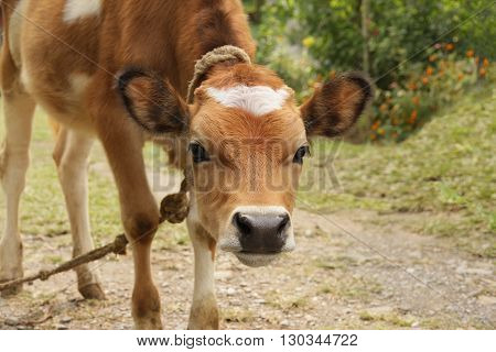 A young red calf with white spot on its forehead