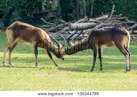 African Deers Antelope While Fighting