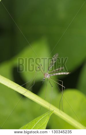 Isolated Giant Mosquito Fly On Green Leaf Background