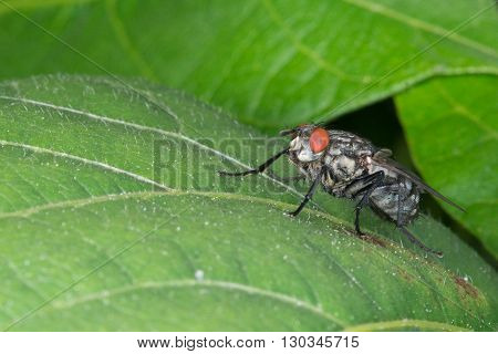 Isolated Fly On The Green Background