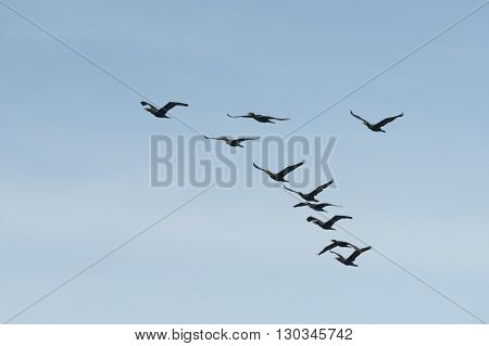 Cormorant Birds While Flying