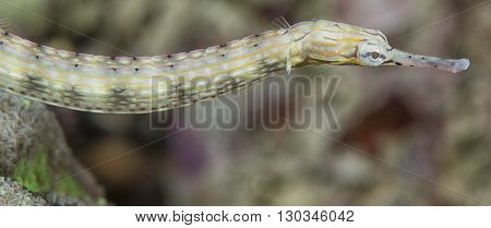 A Pipe Fish Of Sea Horse Family