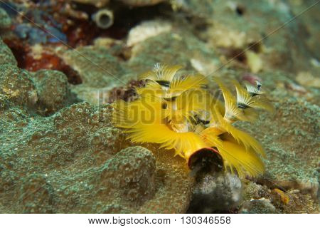 A Yellow Xmas Tree Worm In Coral In Cebu Philippines