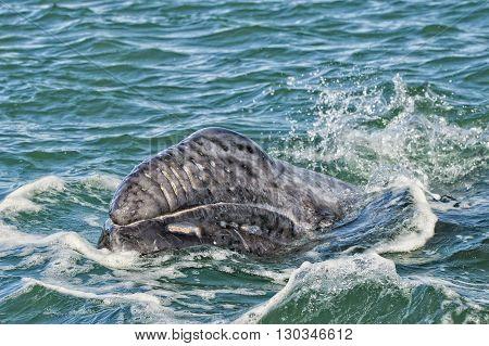 Grey Whale Calf Portrait