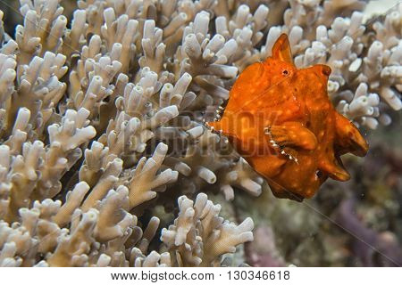 Red Frog Fish