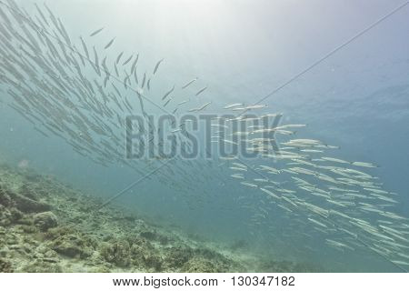 Barracuda School Of Fish Bait Ball
