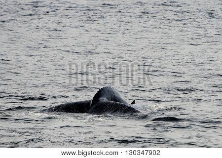 Humpback whale tail while going down in ocean
