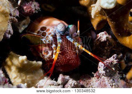 Mantis Lobster Defending Eggs