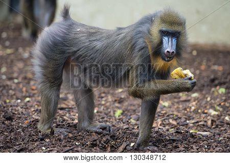 Isolated Mandrill Monkey Portrait