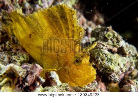 Yellow Leaf Fish In Cebu, Philippines