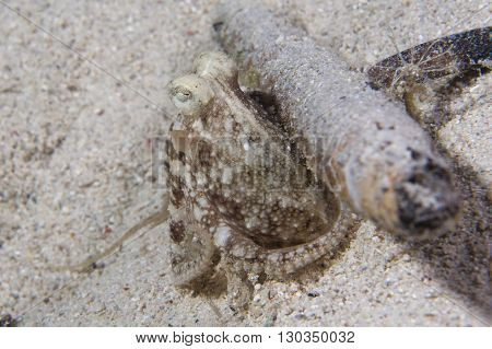 Octopus On Sand From Night Dive In Philippines