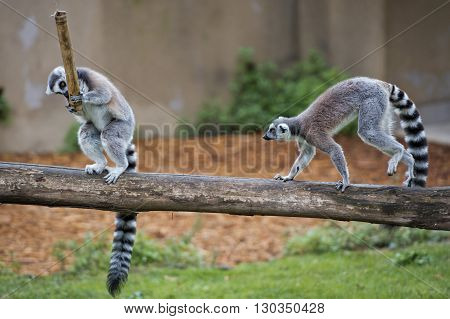 Lemur Monkey While Jumping