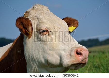 side profile of a domestic cow on meadow - detail