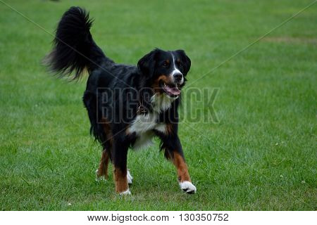 Bernese Mountain Dog walk attentively through the meadow
