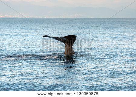 Sperm Whale In The Mediterranean Sea