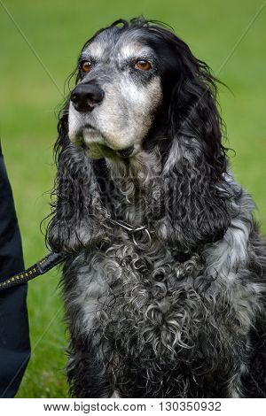 Closeup of seated gray cocker spaniel dog