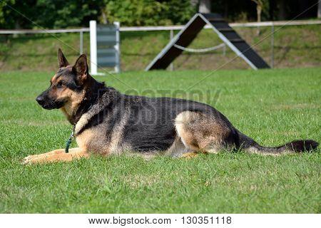 German Shepherd Dog in the meadow - side profile