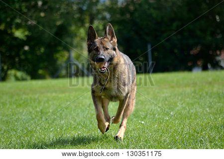 German shepherd running with game ball - to retrieve