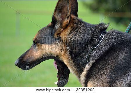 side closeup of a yawn the German Shepherd Dog