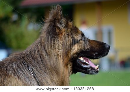 side Portrait image of a long-haired shepherd