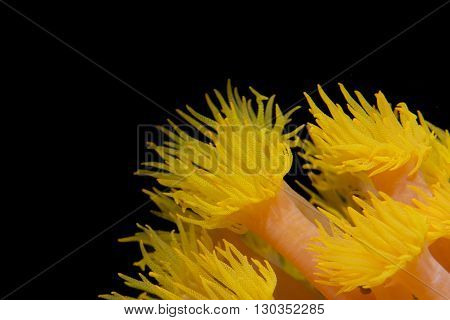 Yellow Coral Polyps In The Black Background In Cebu Philippines