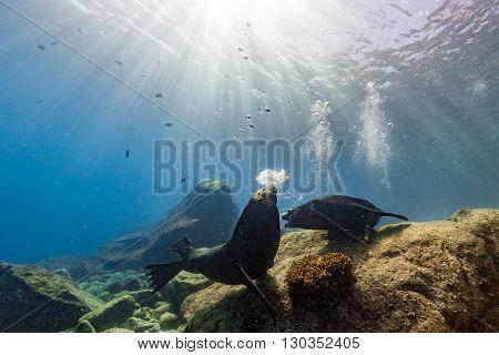 Male Sea Lions Fighting Underwater