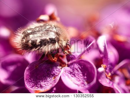 Purple lilac close up. Abstract background image