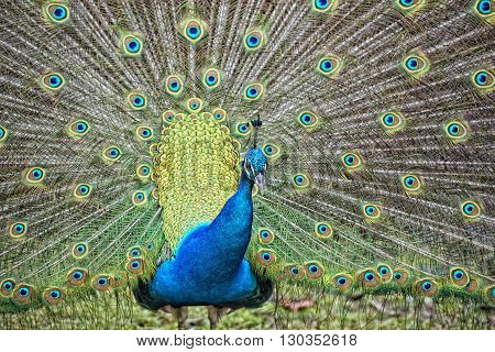 Peacock Bird Wonderful Feather Open Wheel Portrait