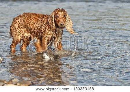 Cocker Spaniel Dog While Playing In Water