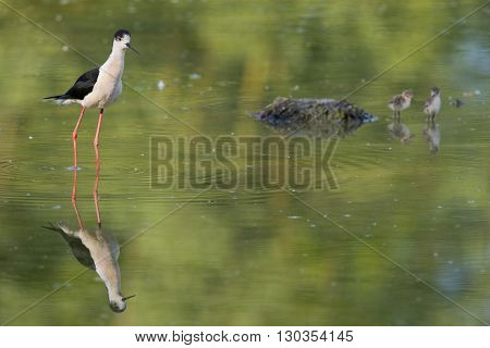 Young Puppy Bird Black-winged Stilt And Mother
