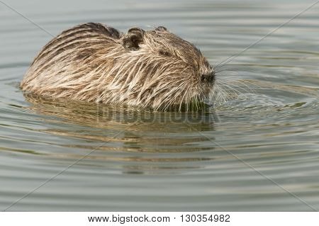 Isolated Beaver Coypu Looking At You