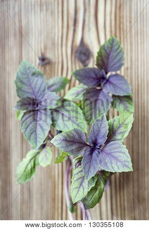 Young fresh basil leaves, fresh basil on dark wooden background