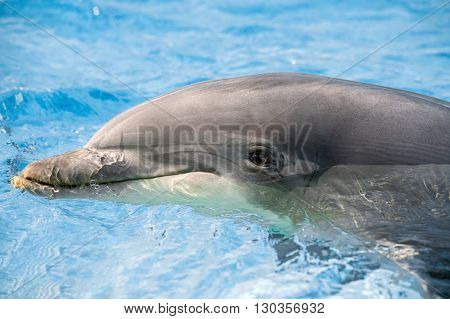 Dolphin Portrait Looking At You