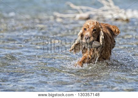Dog Puppy Cocker Spaniel Playing In The Water