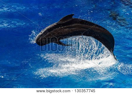 Pilot Whale Jumping Outside The Sea