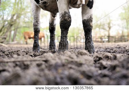 Bulls standing in the mud on a cattle farm, Poland