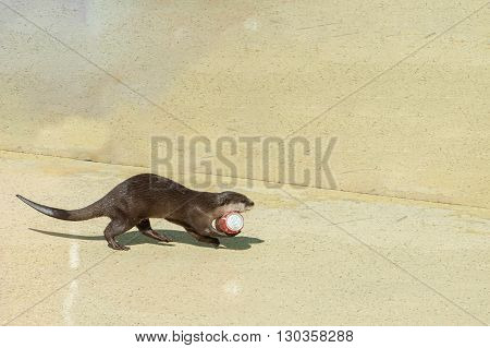 Sea Otter Holding A Can
