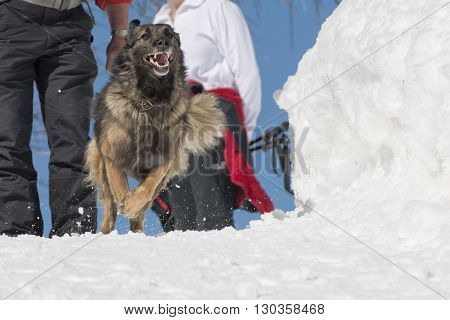 Dog While Running On The Snow