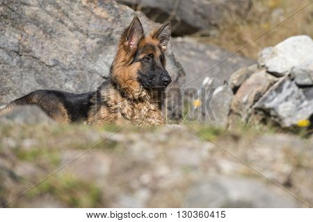German Shepard While Looking At You