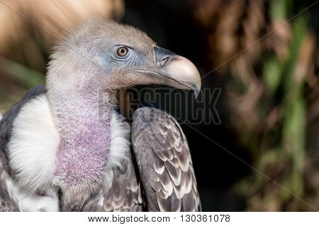 Isolated Vulture, Buzzard Looking At You