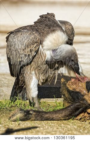 Vulture Buzzard While Eating A Dead Animal